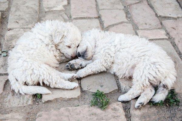 白いプーリーの子犬二匹