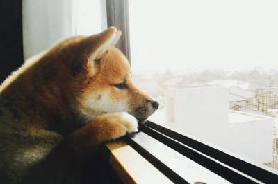 窓の外を寂しそうに見つめる子犬