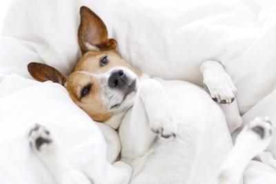 真っ白な布団の上で仰向けになる犬