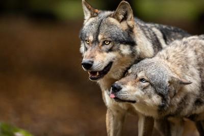 2頭のハイイロオオカミ