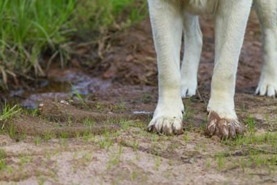 手足が汚れている犬の手元のアップ