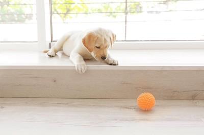 オレンジのボールを見つめる子犬