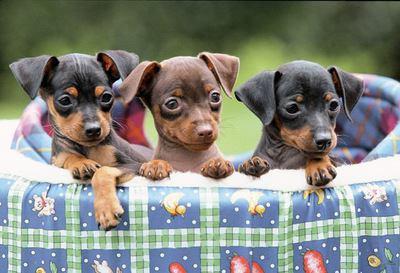 ペットソファーから顔をのぞかせる3匹のミニチュアピンシャーの幼犬