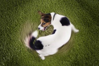 尻尾を追って走る犬