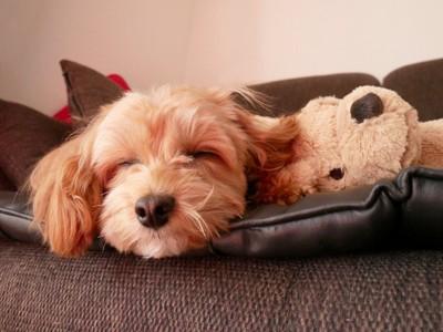 眠るマルプー