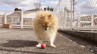 ボールを見つめるポメラニアン
