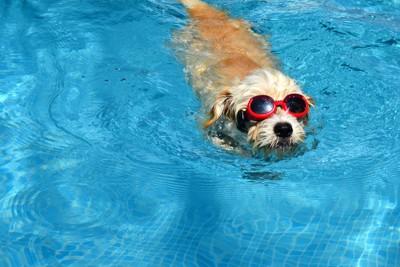 サングラスをかけて泳ぐ犬