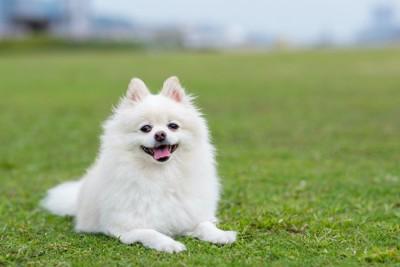 芝生の上に伏せて嬉しそうな犬