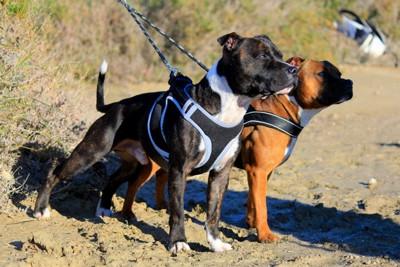 カニクロス用ハーネスを着けた犬2頭