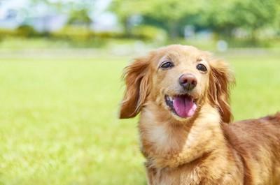 芝生の背景、笑顔のダックス