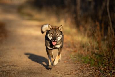 土の上を走る四国犬