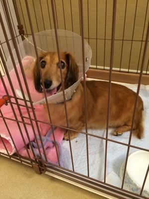 術後のゲージでの生活をする愛犬