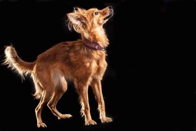 上を見上げる茶色い犬の横顔