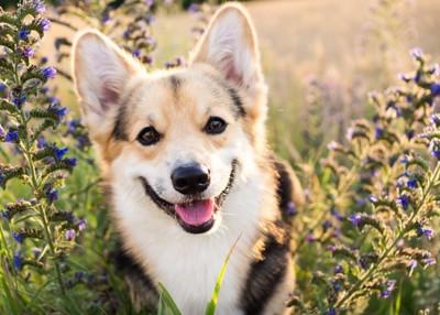 花畑で微笑むウェルッシュコーギー