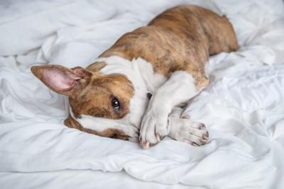 ベッドに寝転がって顔を隠す犬