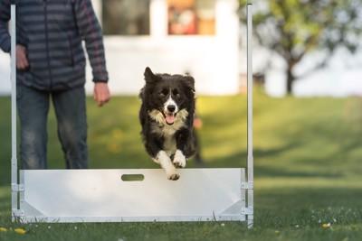障害物を飛ぶ犬