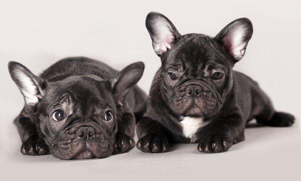 二匹のフレンチブルドッグの子犬
