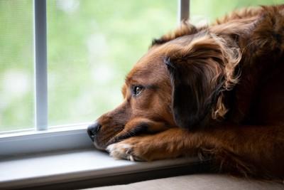 悲しげな表情で窓辺にて留守番している犬