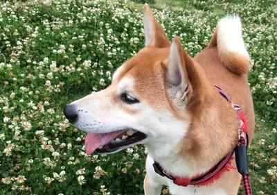 シロツメクサと柴犬