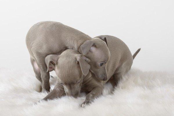 イタリアングレーハウンドの二匹の子犬