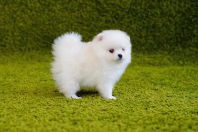 緑のカーペットに立つ白いポメラニアンの子犬