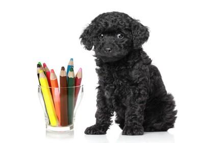 トイプードルの黒毛と色鉛筆