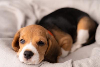 ベッドで横になるビーグルの子犬