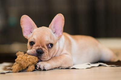 おもちゃを噛むフレンチブルドッグの幼犬