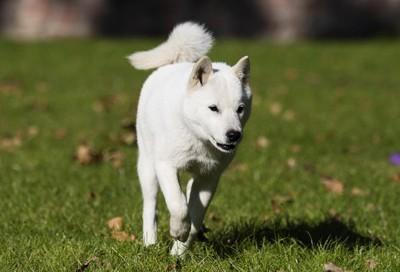 北海道犬が走る
