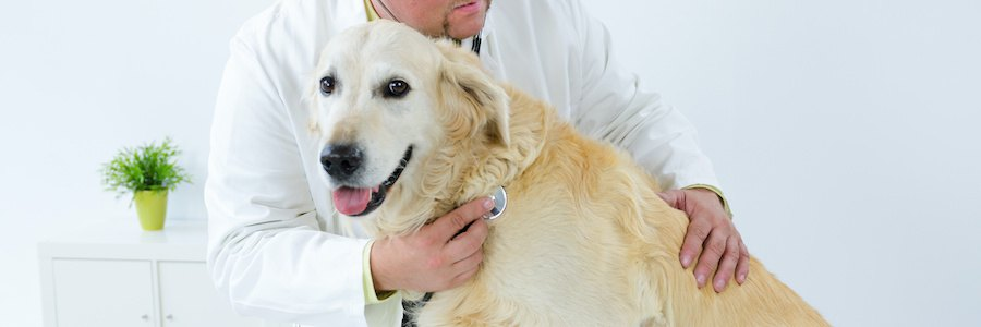 獣医師の診察を受けるゴールデンレトリバー