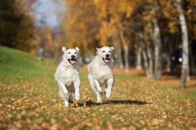 2匹の白い犬が公園を走っている