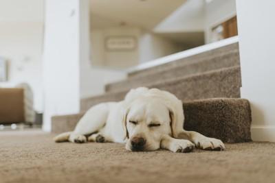 階段下で眠るレトリバー