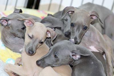 群れで寄り添うイタリアングレーハウンドの幼犬