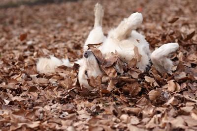 落ち葉の上に寝転がるゴールデンレトリバー