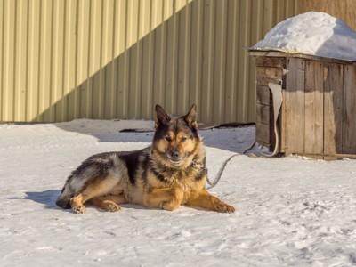 家の外で飼われている番犬