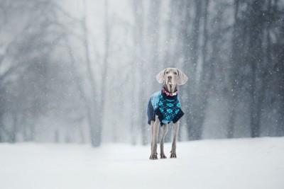 雪景色の中で洋服を着て立つ犬