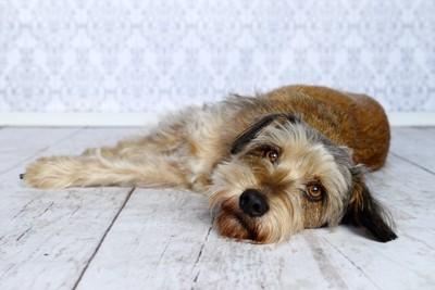 部屋で床に寝転んでいる犬