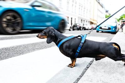 交通量の多い道を散歩している犬