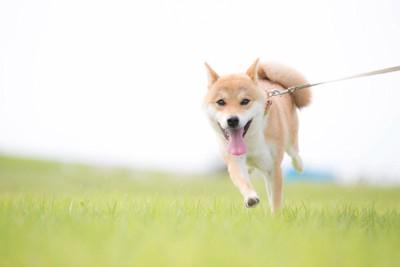 草原を散歩する柴犬