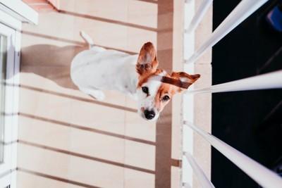 ベランダで上を見上げている犬