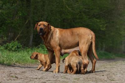 土佐犬の親子の写真