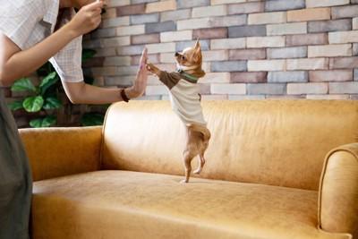 ソファで立ってハイタッチする犬