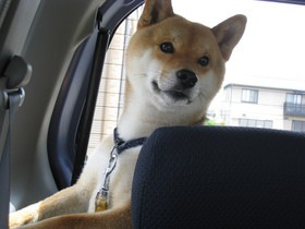 車の中の柴犬