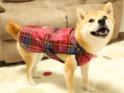 レインコートを着せた柴犬