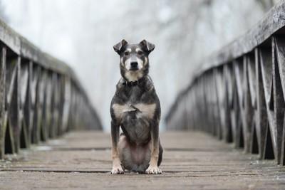 橋の真ん中に座って待つ犬