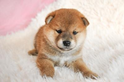 ふわふわの柴犬の子犬