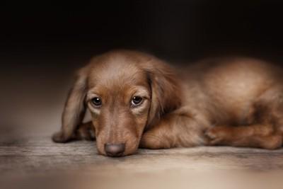 寂しそうな子犬