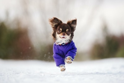 雪の上を走る防寒服を着たチワワ