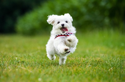 舌を出して走っている白い子犬