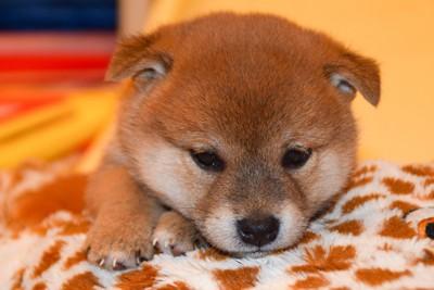 小さい柴犬